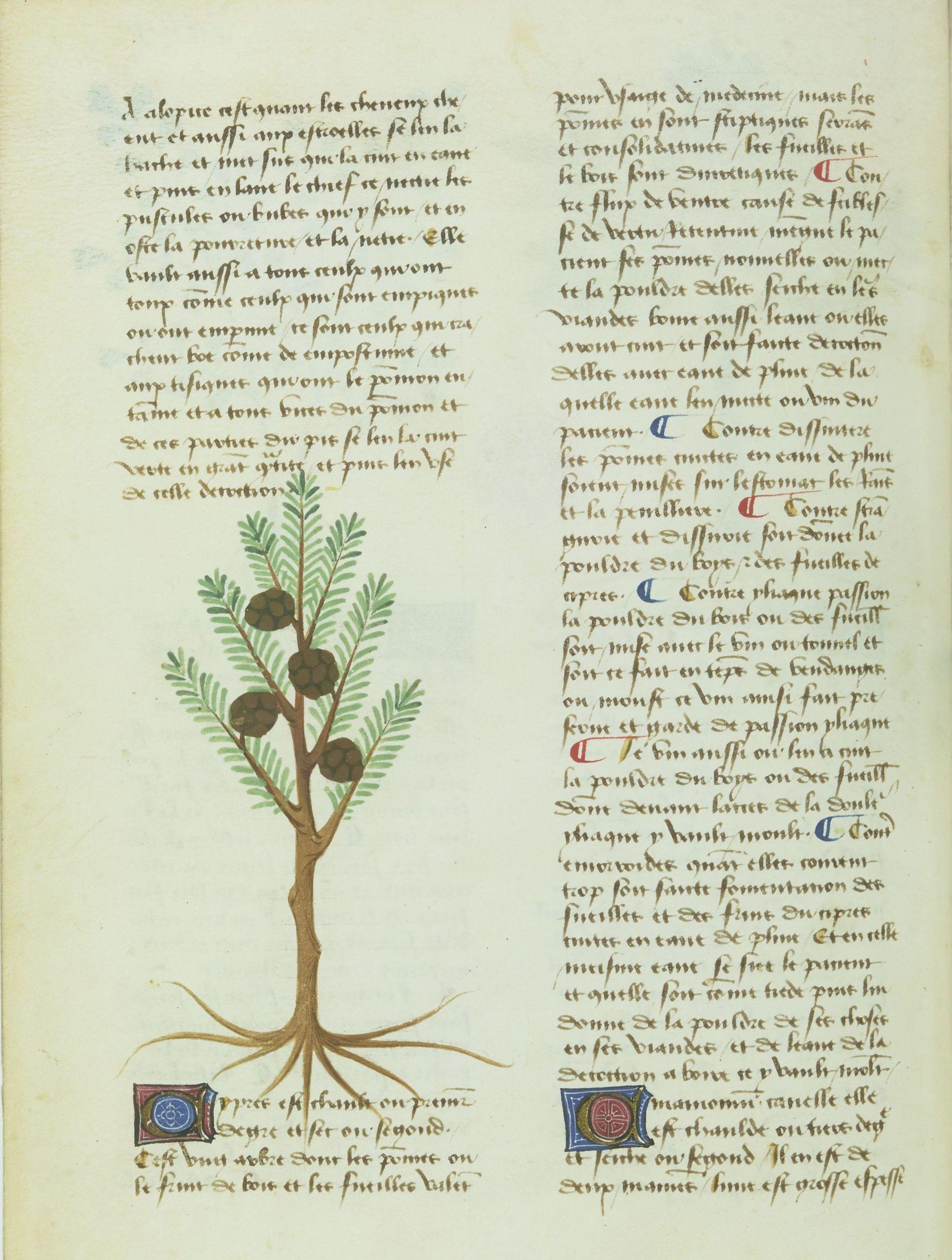 Le cyprès. Livre des simples médecines, BnF, Français 1311, f. 1v, XVe siècle.