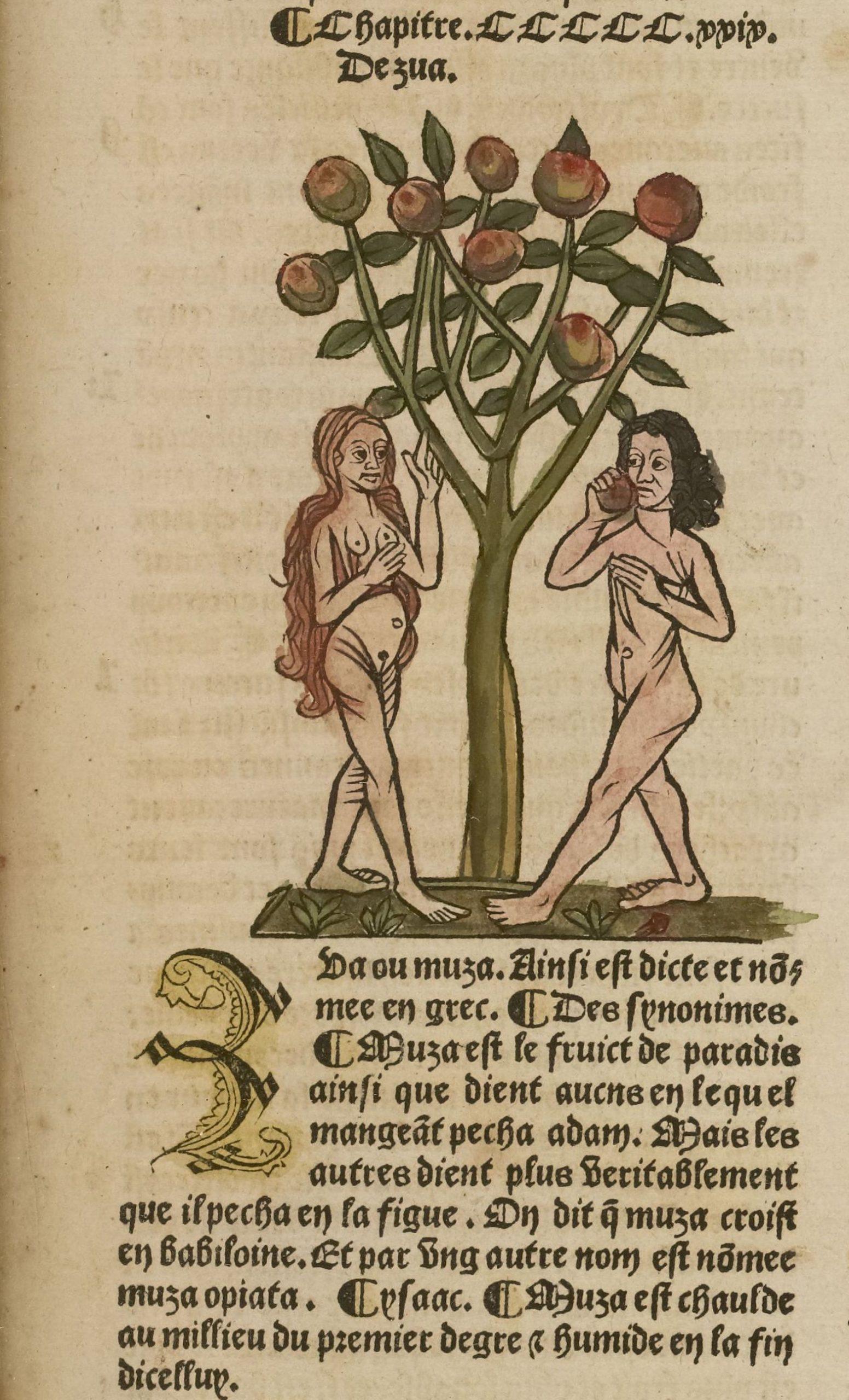 Le fruit de paradis (bananier). Ortus sanitatis translaté de latin en françois, Paris, Antoine Vérard, [1499-1502], chap. 529.